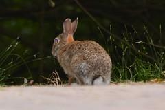 Coniglio selvatico (kyry2010) Tags: coniglio selvatico coniglietto bunny animal animale