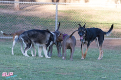 20170614-IMG_7555.jpg (Sketchy Unicorns Lab) Tags: seth fun playful pups sketchyunicornphotography 4806883106 quail blueeyes husky sketchyunicorns puppers tdphotography franklin animal play puppies blue sethfranklin photographer excited cute adorable eyes dog sketchyunicorn arizona park mesa dogpark sfotography