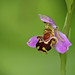 Bee orchid (ruth spotlight) Tags: flower plant beeorchid bee orchid wildflower spotlightimages