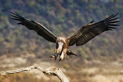 (Vladi Grozdanov) Tags: nikon 80400 d750 rodopi mountains madzharovo birds vulture wildlife