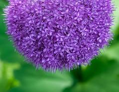 Allium Globemaster (vern Ri) Tags: purple mauve green plant flora fleur flower fiori fuji xt20 allium garlic globemaster