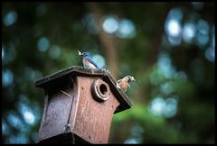 feeding time! (Vélocia) Tags: sialiamexicana westernbluebird nest box insect moth brood
