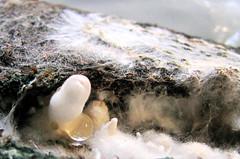 Primórdio de Cogumelo Gill split com 3 mm - Mushromm - (Schizophyllum commune) (Valter França) Tags: schizophyllum commune fungi cogumelo mushroom imunodeficiência cosmopolita gill split alimento china méxico índia