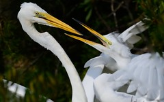 """Read My Lips!""  Great Egrets (Christine Fusco) Tags: ardeaalba greategrets juvenilegreategret greatwhiteegret southcarolina charleston bayou swamp marsh wader waterbird beaks behaviour white nature playfull nikkor nikon"