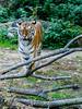 DSC03833 (IgorBratyshko) Tags: tiger zoo kiev kyiv ukraine sony dsch50 тигр зоопарк киев украина