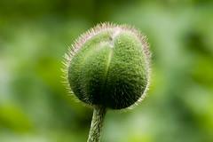 Papaver orientale (ivanskorikov) Tags: papaver bud flowerbud green msu moscow