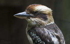 Kookaburra (Paula Darwinkel) Tags: kookaburra bird nature wildlife animal portrait
