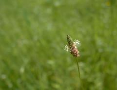 Out of the green (louise peters) Tags: flower bloem meadow weide green groen bokeh macro hbw creantay burgudy bourgogne bourgondië france frankrijk