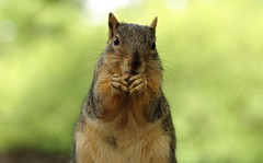 Squirrel, Morton Arboretum. 403 (EOS) (Mega-Magpie) Tags: canon eos 60d nature wildlife squirrel outdoors the morton arboretum lisle cute hungry dupage il illinois usa america