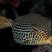 Solor Boxfish, female - Ostracion solorensis