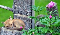 DSC_0714 (rachidH) Tags: fox renard vulpes foxcub renardeau redfox renardroux vulpesvulpes backyard frontyard wildlife sparta newjersey nj rachidh nature