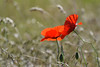 ♫ ♪ ♫ gentils coquelicots .....  ♫ ♪ ♫ (thierrymazel) Tags: fleurs flowers blossoms pritemps spring profondeur champ bokeh pdc dof coquelicots poppy