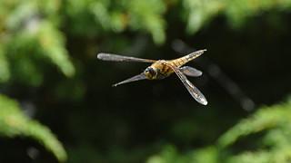 Vierflecklibelle im Flug
