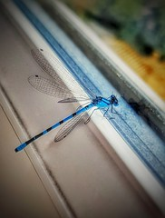 He's got the blues... (Мaistora) Tags: macro insect blue transparent creature window closeup mobile phone
