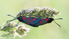 Burnet moths (Happy snappy nature) Tags: burnetmoths spotted pair insect nature wildlife outdoors sunnyday shropshire
