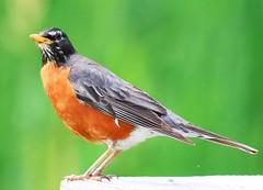 American robin at Seed Savers Exchange IA 854A3863 (lreis_naturalist) Tags: american robin seed savers exchange winneshiek county iowa larry reis