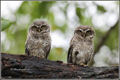 6980 - spotted owlets (chandrasekaran a 40 lakhs views Thanks to all) Tags: spottedowlet owlet birds nature india chennai canoneos760d tamronsp150600mmg2