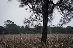 swamp oak (dustaway) Tags: landscape richmondvalley winter trees casuarinaceae casuarinaglauca swampoak corn australiantrees australianlandscape