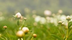 *** (pszcz9) Tags: przyroda nature natura kwiat flower zbliżenie closeup piwonia peonia peony ogródbotaniczny botanicgarden beautifulearth sony a77