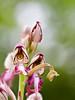 _EF02886 (_ef_) Tags: pilis himantoglossum jankae janka sallangvirág
