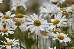 Marguerites (Bri_J) Tags: tropicalbutterflyhouse northanston sheffield southyorkshire uk yorkshire nikon d7200 marguerite flowers