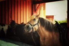 Pick Me!! Pick me!! Pick Me!! (James P. Mann) Tags: broadleaf riding stables horse horses back riverside albert new brunswick summer