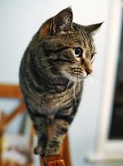Balance (timvandenhoek1) Tags: cat pet feline housecat tabby grey gray balance balancing tizzy chair kitchen missouri ruralmissouri midwest countryside sigma30mmf14dcdncontemporaryemount sonyilce6000 animal timvandenhoek