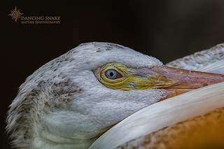 _O6A0336 American White Pelican ©Dancing Snake Nature Photography