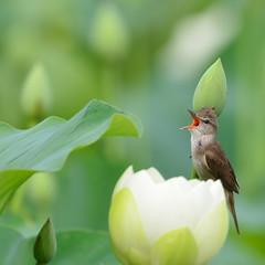 개개비와연꽃 (사진대통령) Tags: 개개비 연꽃