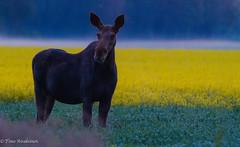 Mother Moose on the misty rape field at 3 am just before the sunrise. (Timo Airaksinen) Tags: moose finland kirkkonummi järsö sony sonya99 sony70400mm dawn sunrise rapefield mother uusimaa porkkala hirvi rypsipelto usva