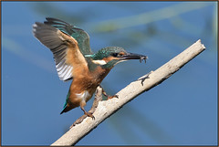 Kingfisher (image 1 of 3) (Full Moon Images) Tags: kings dyke wildlife nature reserve cambridgeshire bird kingfisher