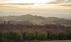Pôr do sol em O Lavandário - Cunha - SP (Clics de Viagens) Tags: cunha brasil americadosul turismo