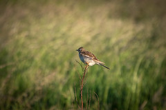 DSC_4663 (Evo800) Tags: walks cooper sky grass cloulds sunset water forth scotland nikon d610 deer skylark