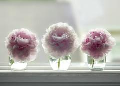Peonies (nikagnew) Tags: peonies pink glasses three fragrant window windowsill row white soft light flowers
