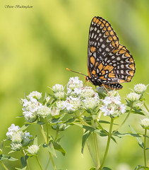 Baltimore Checkerspot on Mountain Mint (sbuckinghamnj) Tags: checkerspot baltimorecheckerspot butterfly lepidoptera insect delawarewatergap newjersey