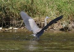 IMG_3358 (DGAS Life Images) Tags: brantford ontario grandriver blueheron summer wilkesdam eagle wildlife geese ducks fowl island water birds