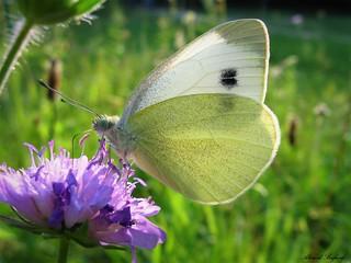 Butterfly 1339