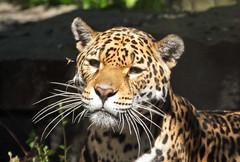 jaguar rica artis BB2A5631 (j.a.kok) Tags: jaguar rica zuidamerika southamerica mammal kat cat predator artis zoogdier dier animal
