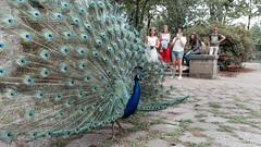 F5464 ~ The Seduction Master (Teresa Teixeira) Tags: peacock porto jardinsdopaláciodecristal seduction powerofseduction teresateixeira
