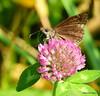 Horace's Duskywing_N9965 (Henryr10) Tags: woodlandmound hamiltoncountyparkdistrict cincinnati greatparksofhamiltoncounty butterfly erynnis pyrginae hesperiidae butterflies papillon schmetterling mariposa farfalla bmna midsize brown erynnishoratius