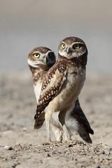 Borrowing owl (jlcummins - Washington State) Tags: owl bird burrowingowl adamscounty washingtonstate fauna