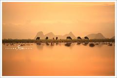Center Line (fiftymm99) Tags: phatthalungthailand cow buffalo fiftymm99 thailand