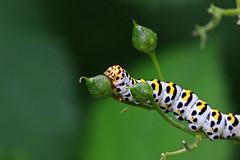 Caterpillar (dr.larsbergmann) Tags: natureandnothingelse naturemasterclass thebeautyofnature fantasticnature nature macro macrodreams photography photo flickr canon ef100400mmf4556lisiiusm greatphotographers