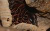 Mushroom changes Airlie Beach rainforest rotting log P1000570 (Steve & Alison1) Tags: pleated parasole inkcap mushroom galerella sp psathyrellaceae airlie beach rainforest