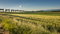 Umbria (hjuengst) Tags: umbrien umbria cypress alley afternoon light cloud cornfield italy panicale