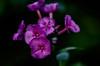Phlox love (bokeh study) (tuvidaloca) Tags: studie purple lila blossom naturaleza rosa nature pink violett inflorescence desenfoqueparcial flower flor violet floración natur rosenrot blütenstand blütezeit inflorescencia infloreszenz heyday estudio bokeh dof violeta blüte bokehextreme rosado blooming deeppink apogeo study desenfoque violado phlox flammenblume
