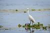 Great Egret (PB2_1870) (Param-Roving-Photog) Tags: great egret common white heron pink lotus flower bird water lake wildlife wetland ropar ramsar punjab wildlifephotography indianwildlife birding nikon tamron dusk