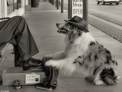 Hey mista, can I shine your shoes for  ya? 25/52 (Jasper's Human) Tags: 52weeksfordogs 52wfd aussie australianshepherd dog shoeshine working