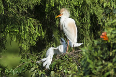 Feed Me! (opheliosnaps) Tags: wild nature bird heron egret cattle white chick mohawk orange louisiana perch green trees baby mother summer road trip