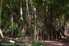 Turtle Bay 19 (venusnep) Tags: turtlebay turtle bay hawaii travel travelphotography north shore northshore may 2017 nikond610 nikon d610 banyantree banyan tree